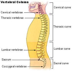 Illu_vertebral_column.111133833_std