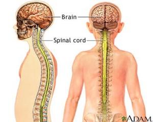 central-nervous-system.111132811_std