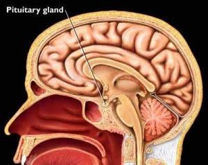 mayo_pituitary_gland.196230151_std